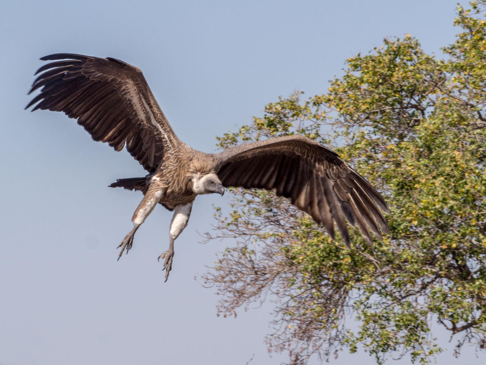 Vulture [Kruger NP, South Africa, 2015]