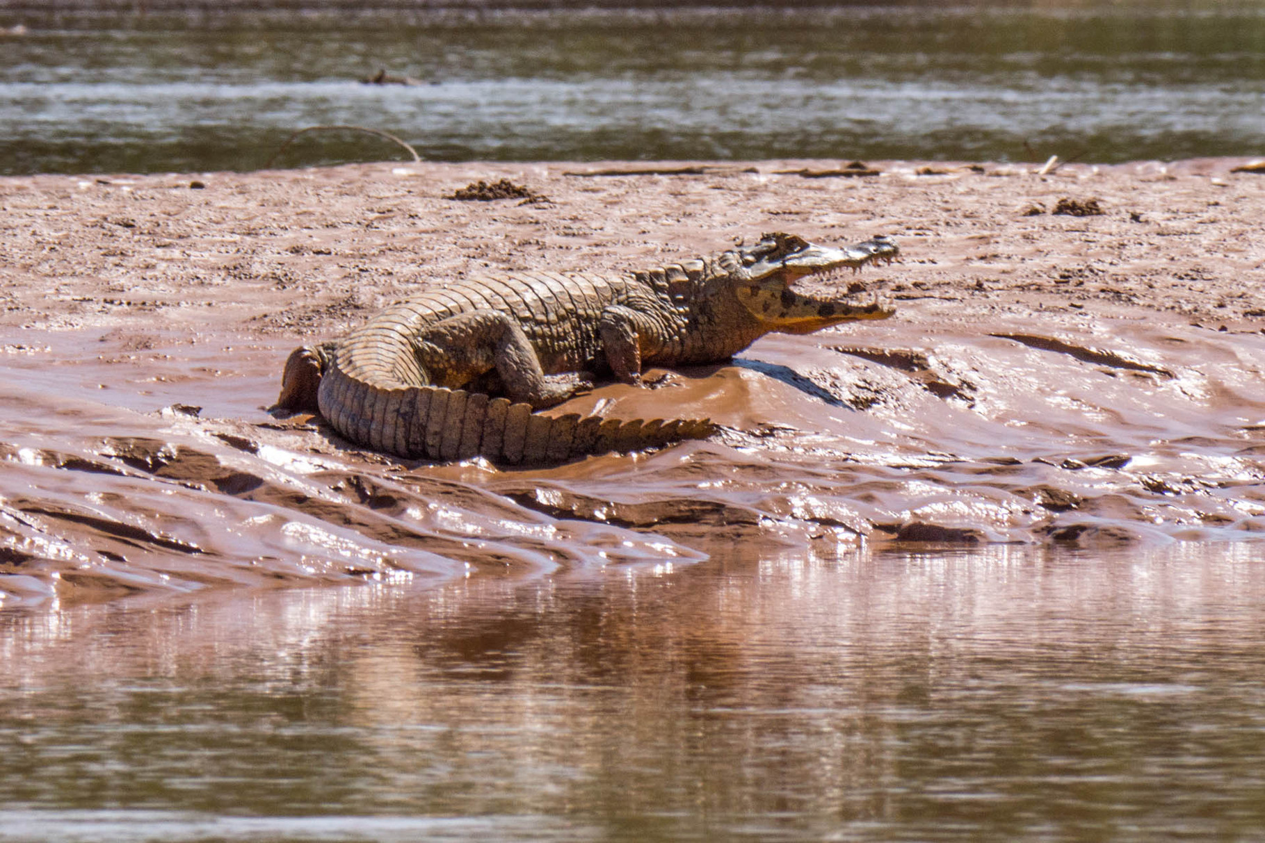 Caiman at the shore of Rio Tuichi, Madidi Nationalpark