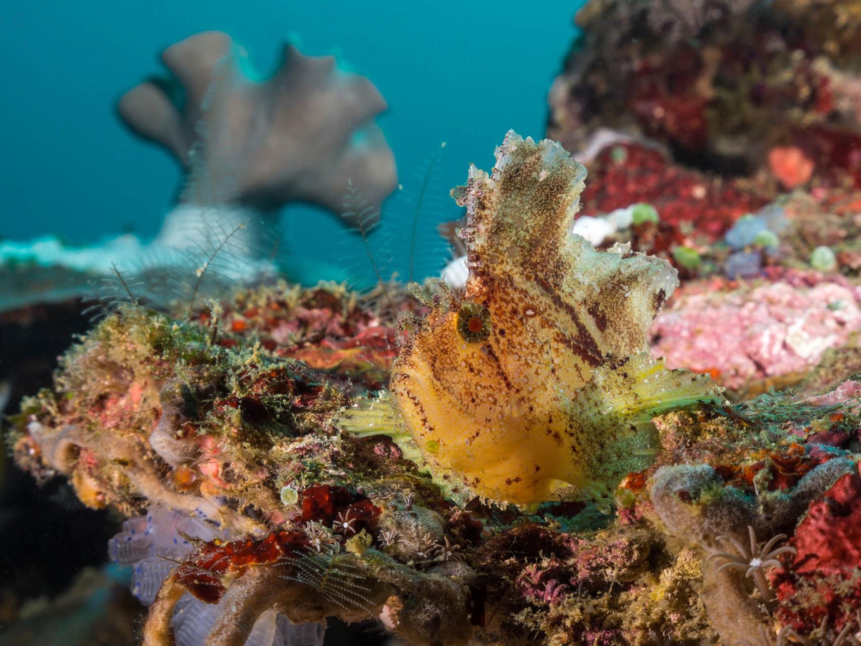 Leaf Scorpionfish (Taenianotus triacanthus), Apo Island [Philippines, 2015]
