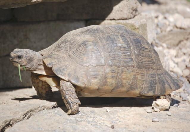 Breitrandschildkrötendame