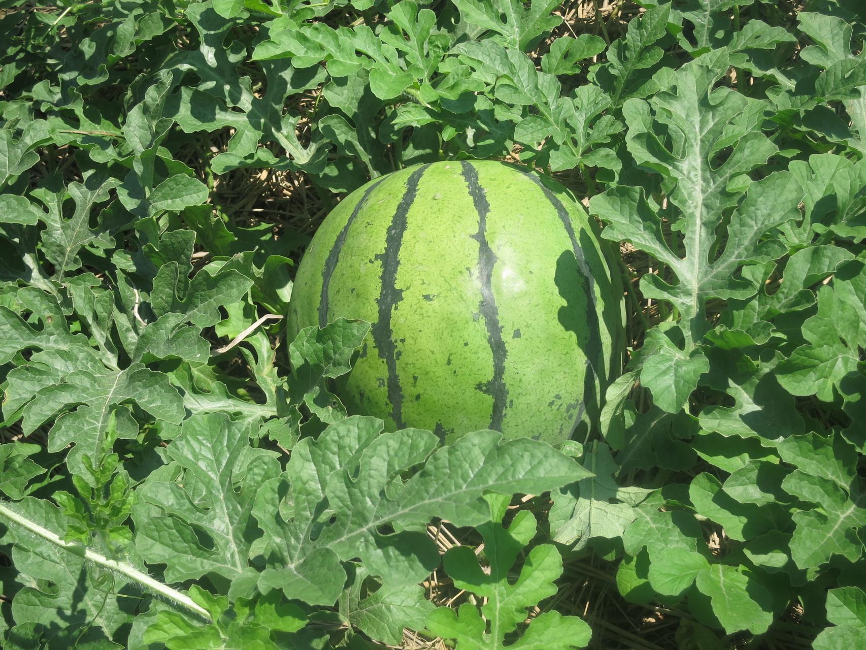 大きなスイカ発見!これも収穫させていただきました。