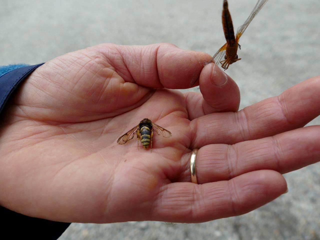 Zum Start der Veranstaltung wurden zwei Totfunde vorgestellt, in der Bildmitte ein Hornissen-Glasflügler