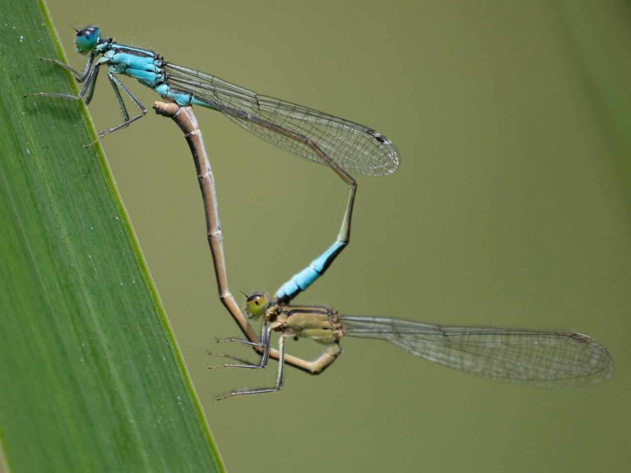 Große Pechlibellen formen ein Paarungsrad; Foto: Josef Baumgartner