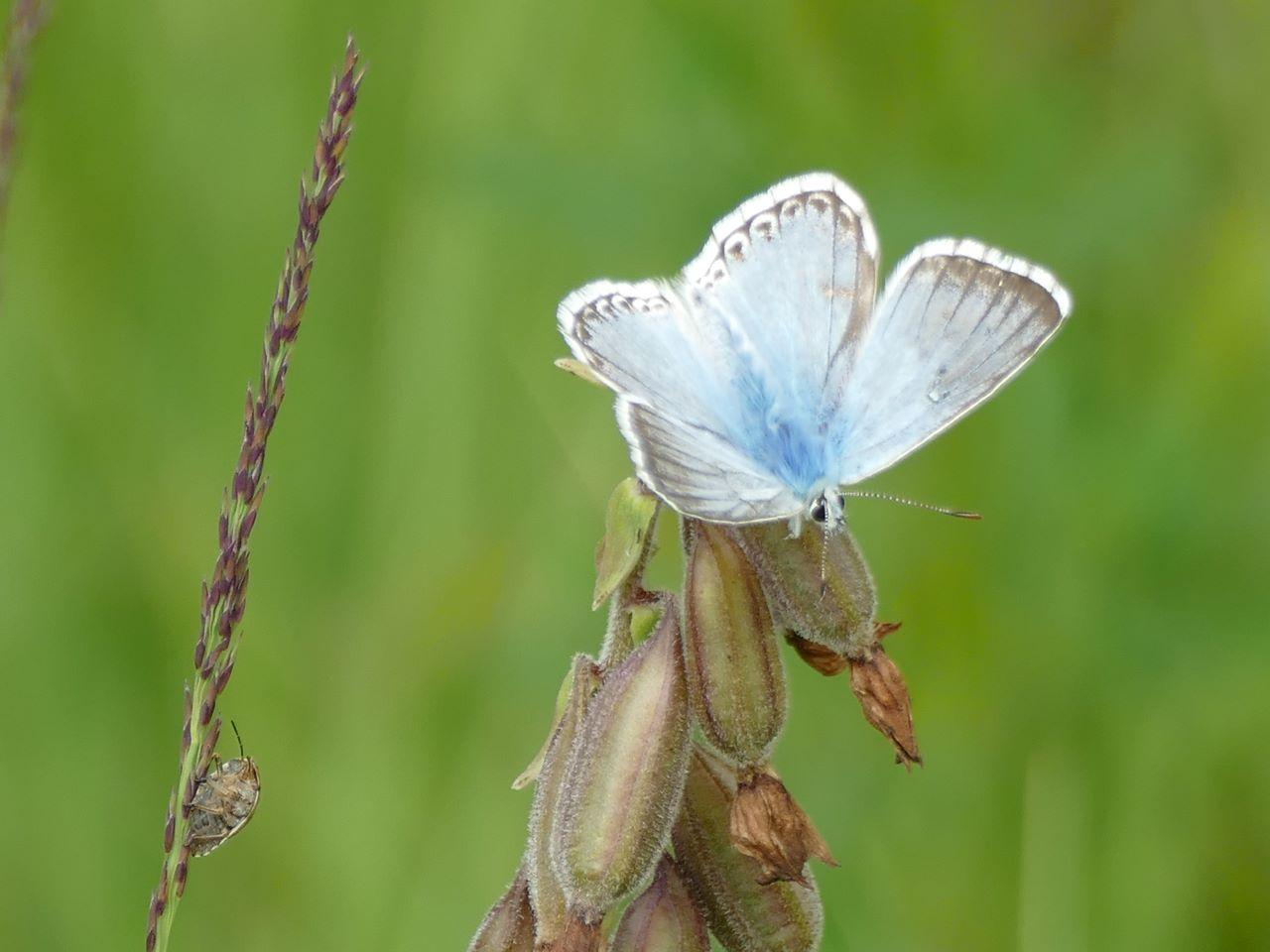 Auch zahlreiche Schmetterlinge wie hier ein Silbergrüner Bläuling wurden beobachtet