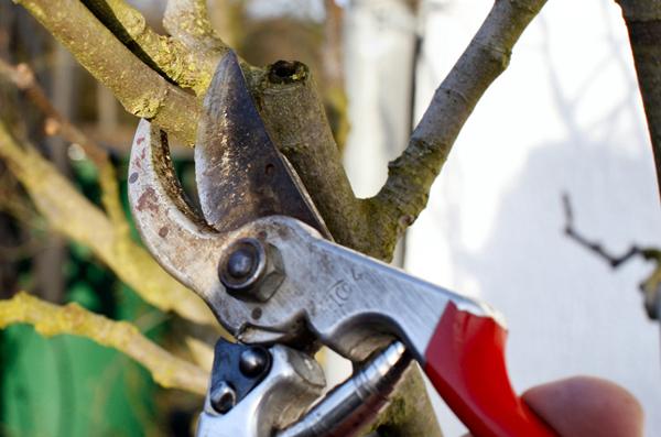 Welcher Zweig weggeschnitten oder welcher Ast abgesägt werden sollte, das erfahren Haus-, Hobby- und Kleingärtner am 9. Februar im Kurzseminar der Fachberatung.