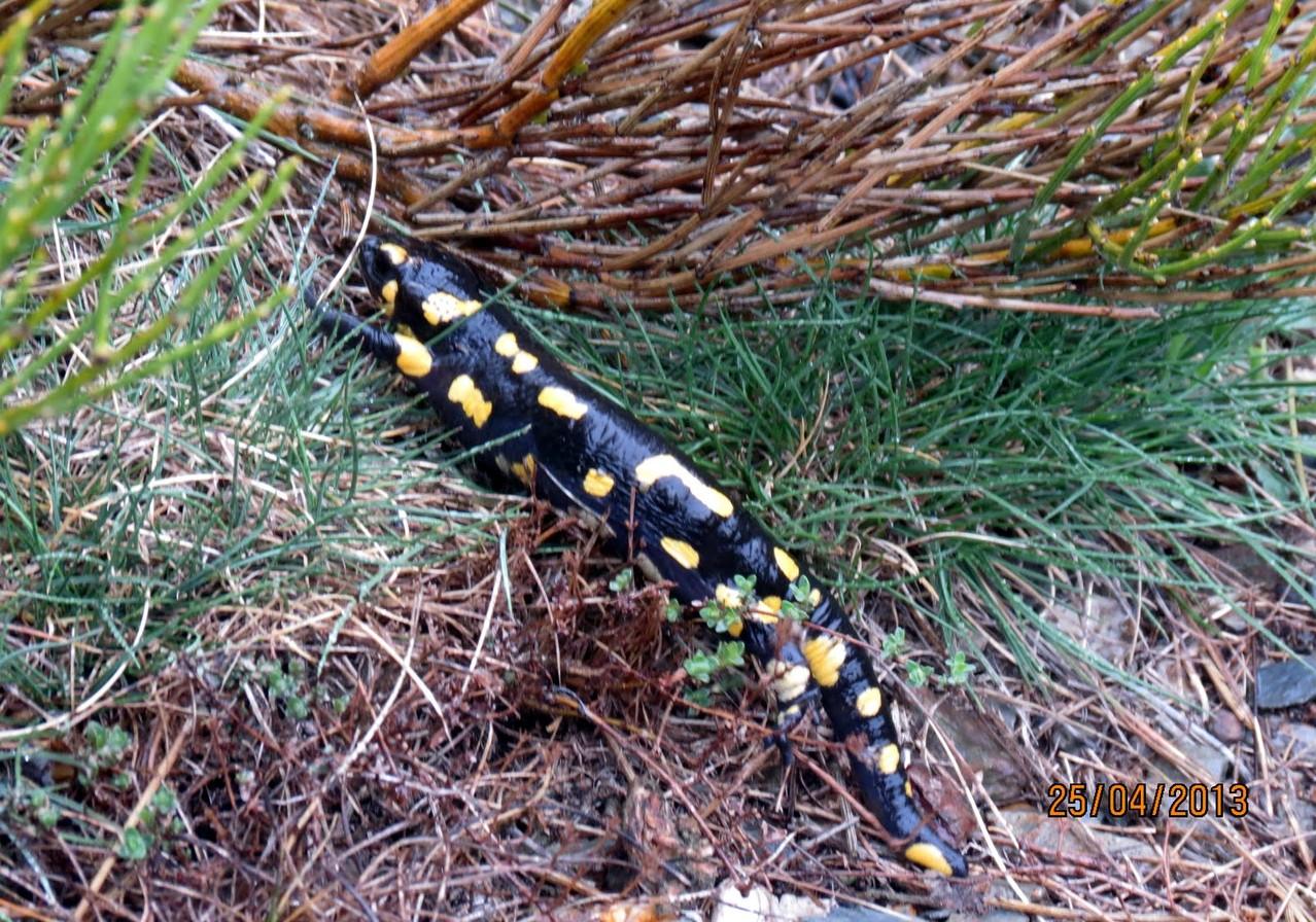 Une salamandre toute à son aise