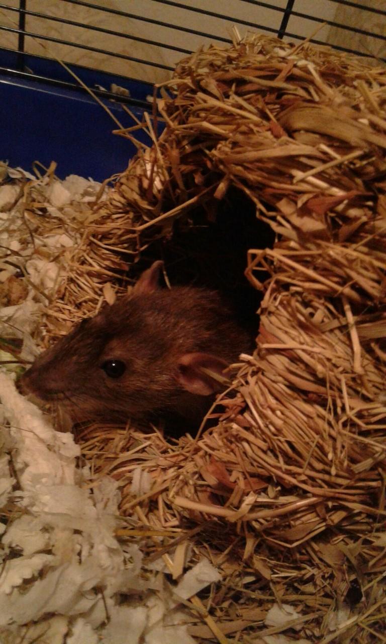 Ratte B
