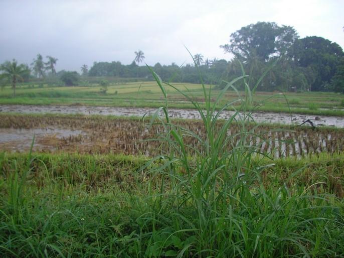 Rizières sous la pluie