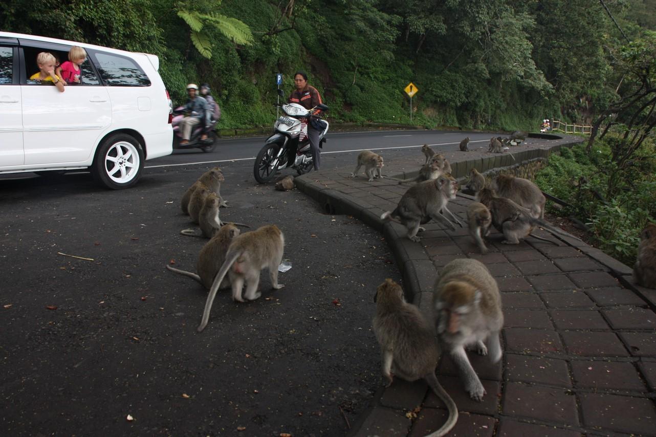 Sur le bord de la route ... des singes ou