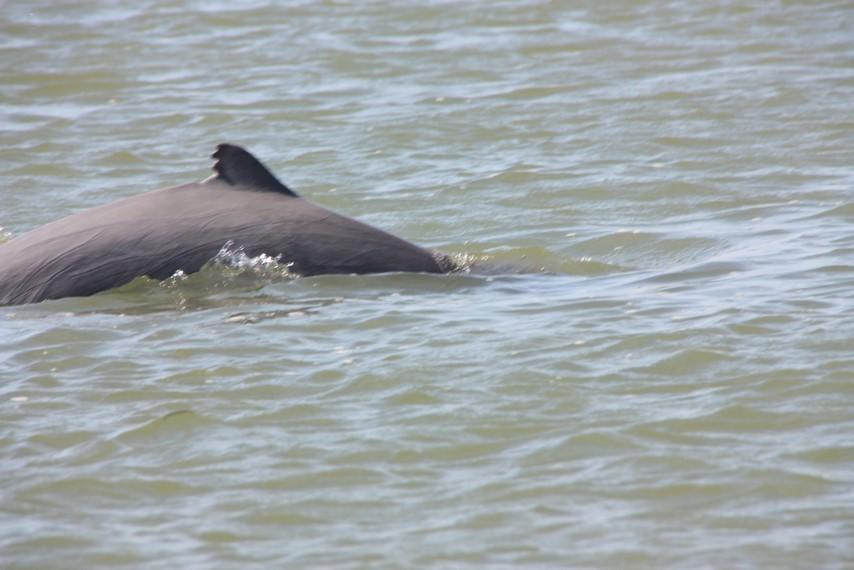 Aileron d'un dauphin Irrawaddy