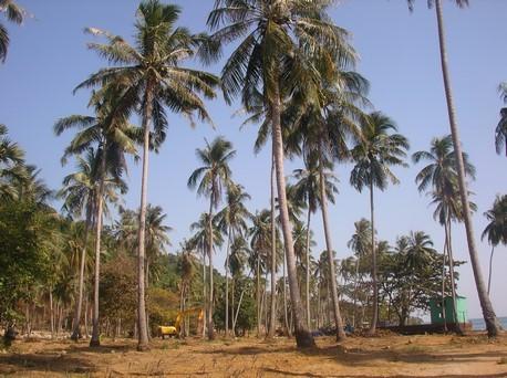 Cocotiers résistants à la déforestation pour construction !!!