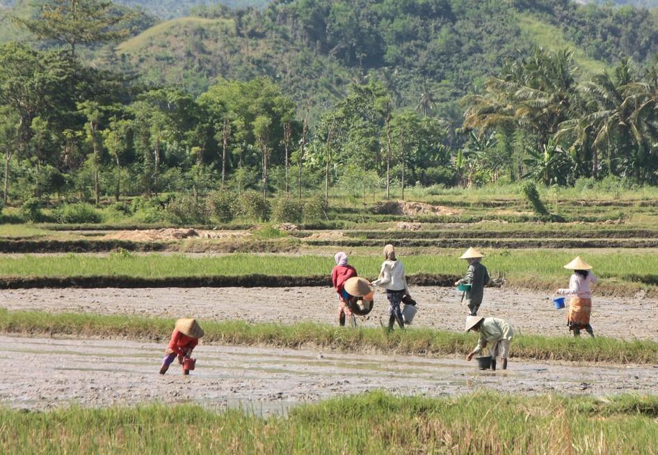 Indonésiennes dans les rizières
