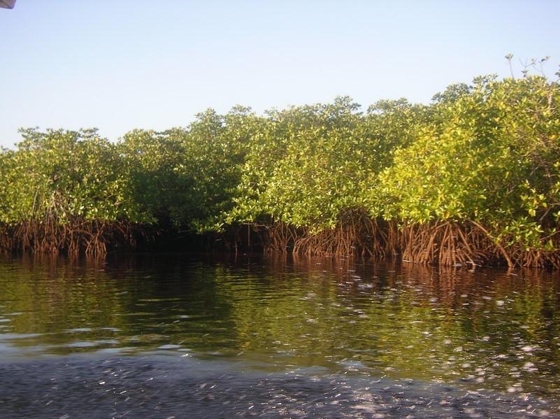 Retour dans les mangroves
