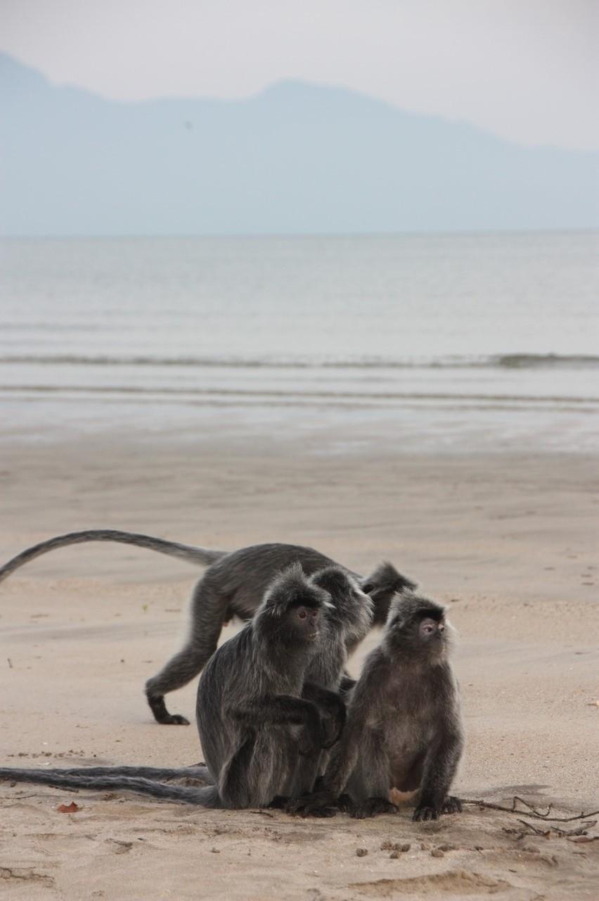 Au lever du soleil, les macaques ont