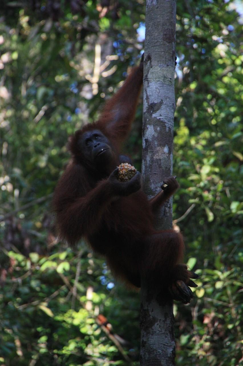 Rencontre avec les orang outans