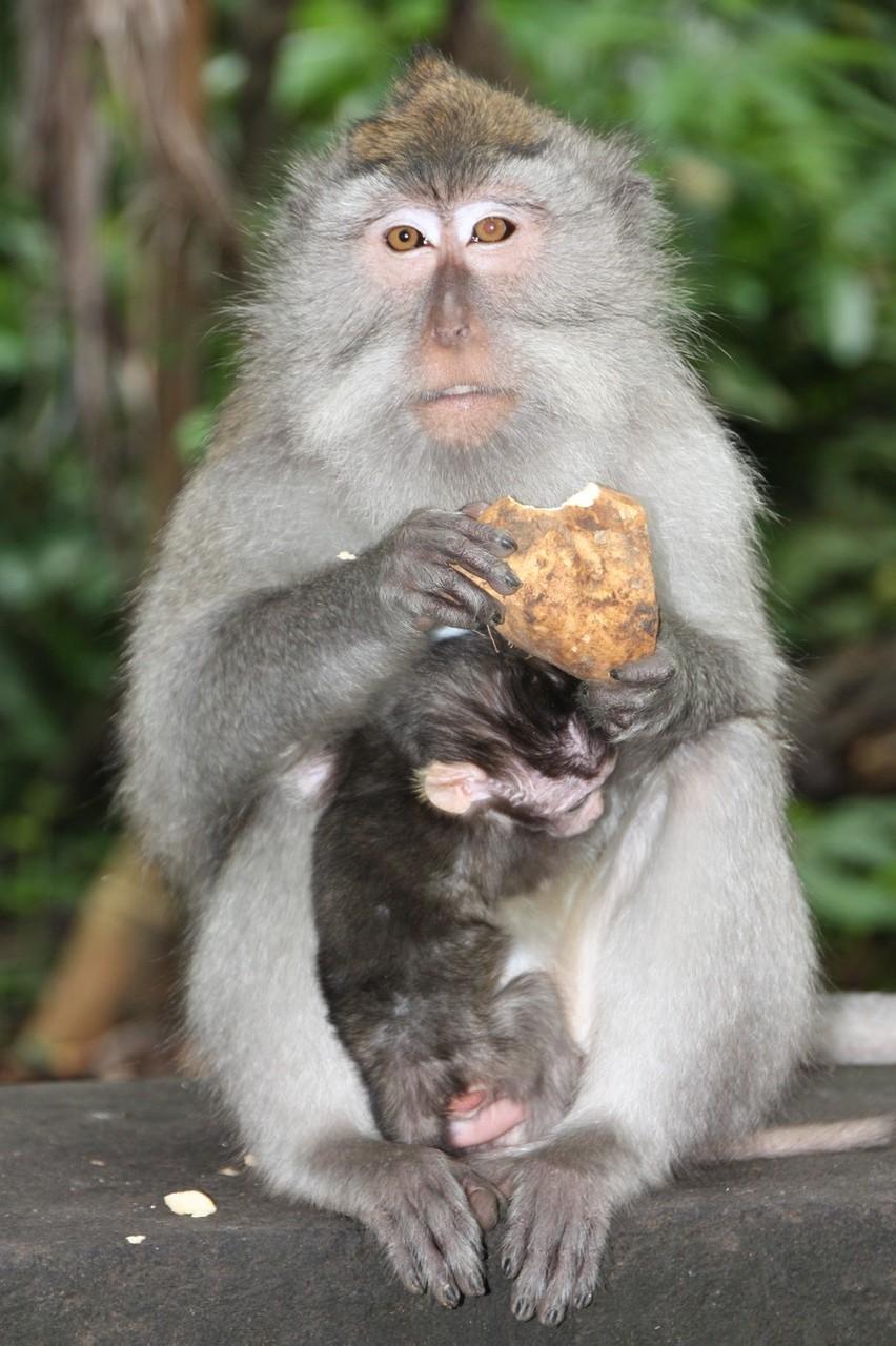 Maman Macaque