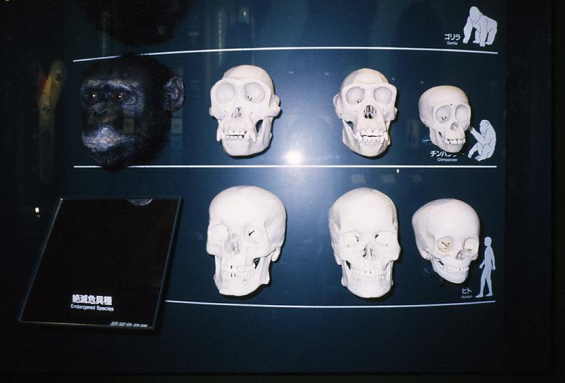 性的二型:チンパンジー・ヒト