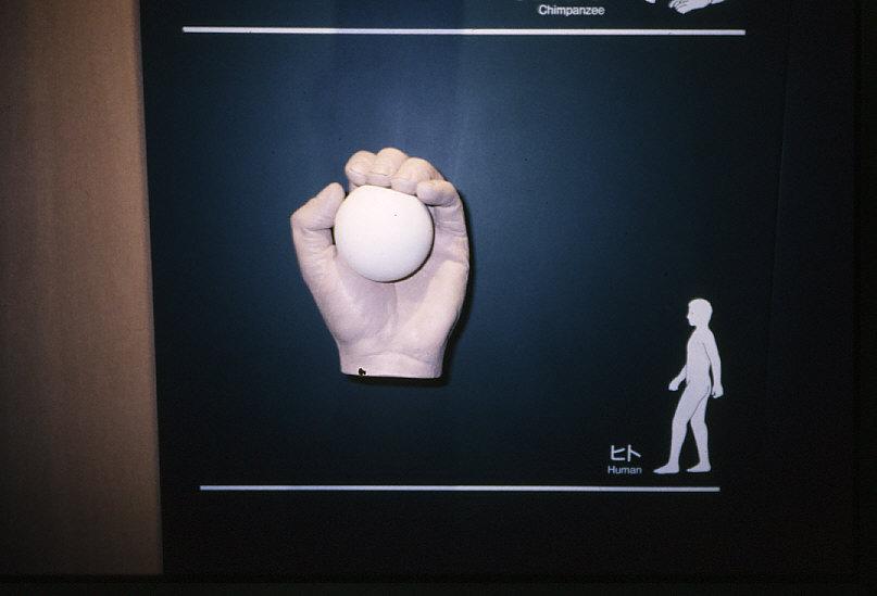 平爪:ヒトの手の模型