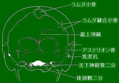 頭蓋骨後面観[Berry & Berry (1967)を改変]