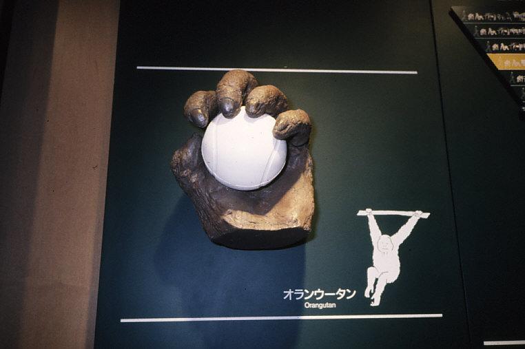 平爪:オランウータンの手の模型