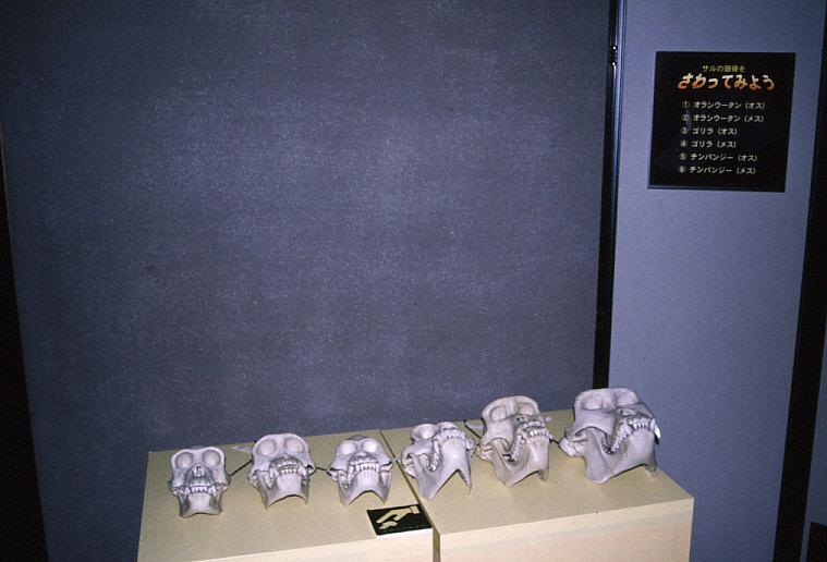 触れる展示:霊長類頭蓋骨レプリカ