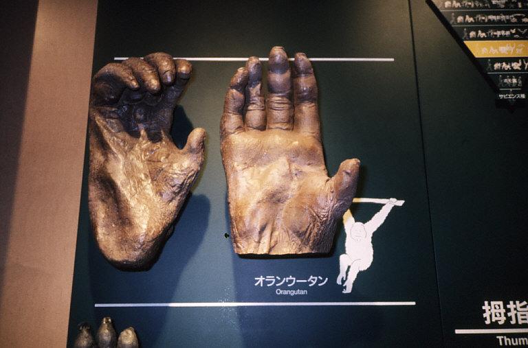 拇指対向性:オランウータンの手と足の模型