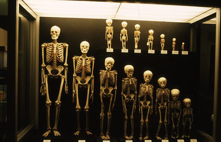 ヒトの実物全身骨格15体
