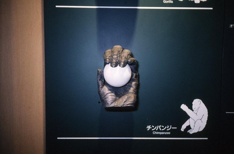 平爪:チンパンジーの手の模型