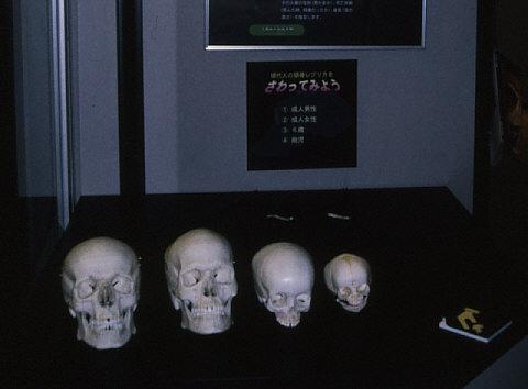 触れる展示:現代人頭蓋骨レプリカ