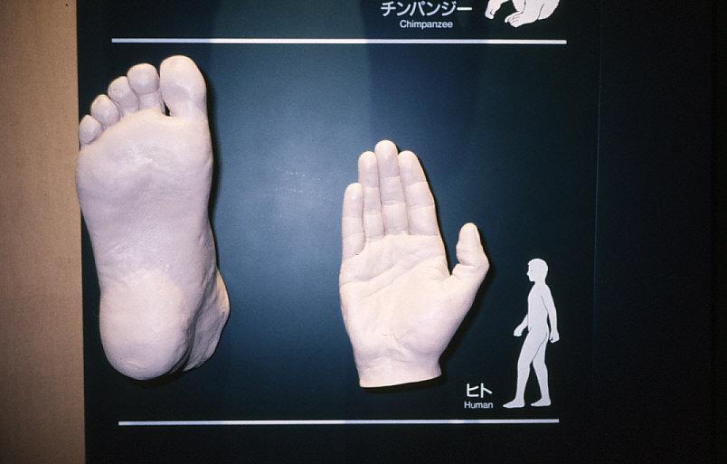 拇指対向性:ヒトの手と足の模型