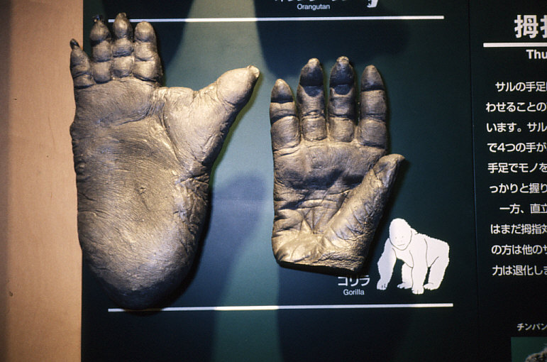 拇指対向性:ゴリラの手と足の模型