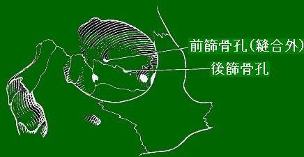 頭蓋骨左眼窩部[Berry & Berry (1967)を改変]