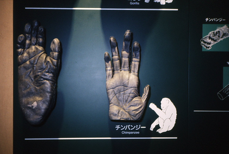 拇指対向性:チンパンジーの手と足の模型