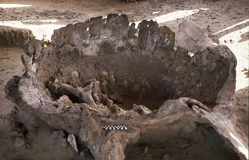 カメの化石:甲羅