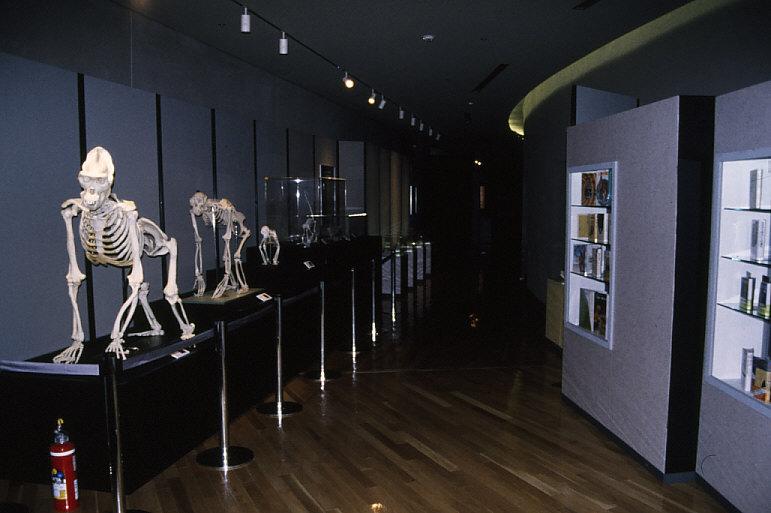 「霊長類への道」展示1