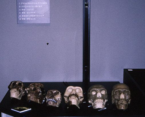 触れる展示:化石人類頭蓋骨レプリカ