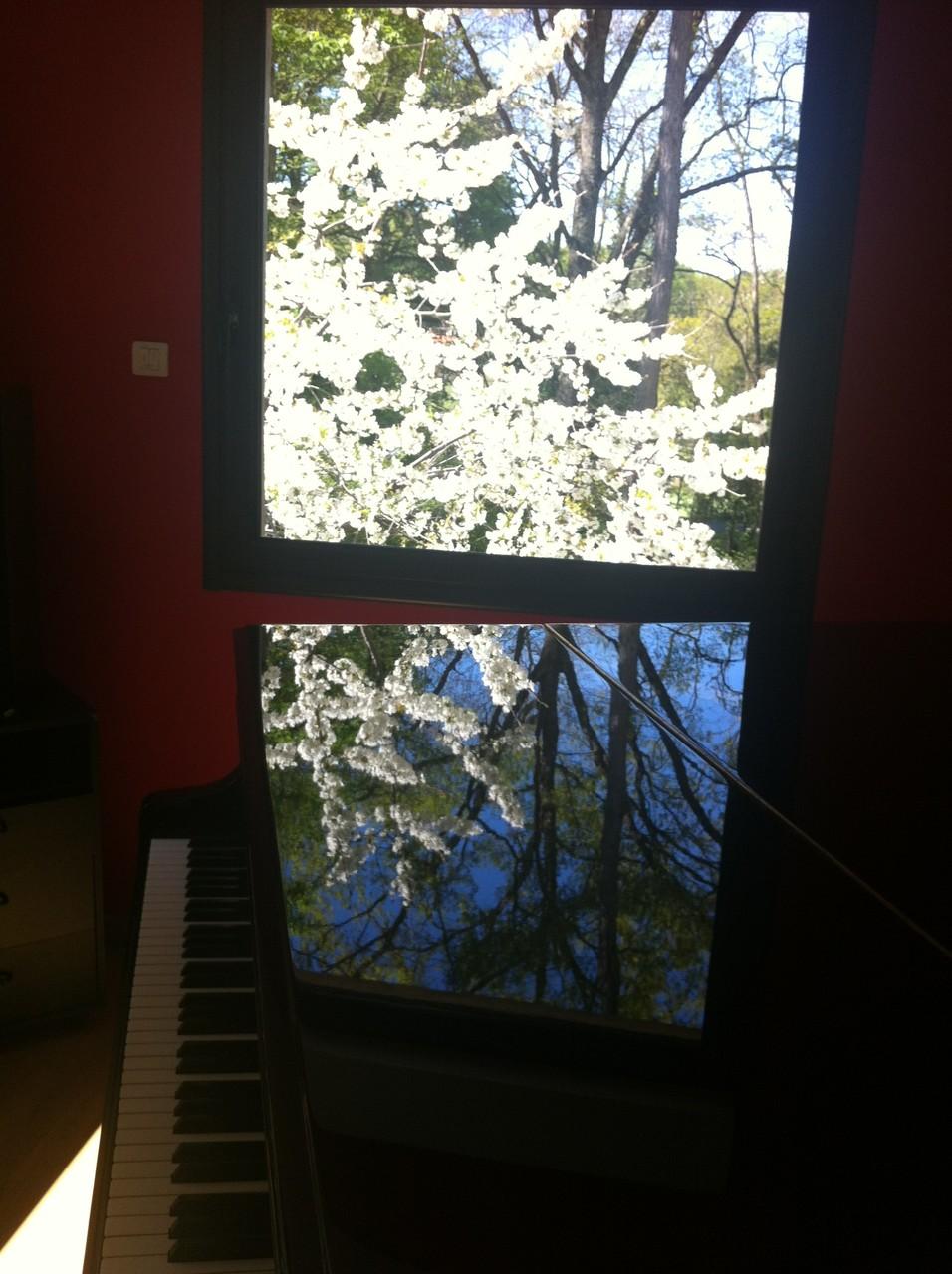 Reflets du cerisier en fleurs sur le Steinway