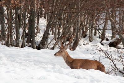Venado entre la nieve