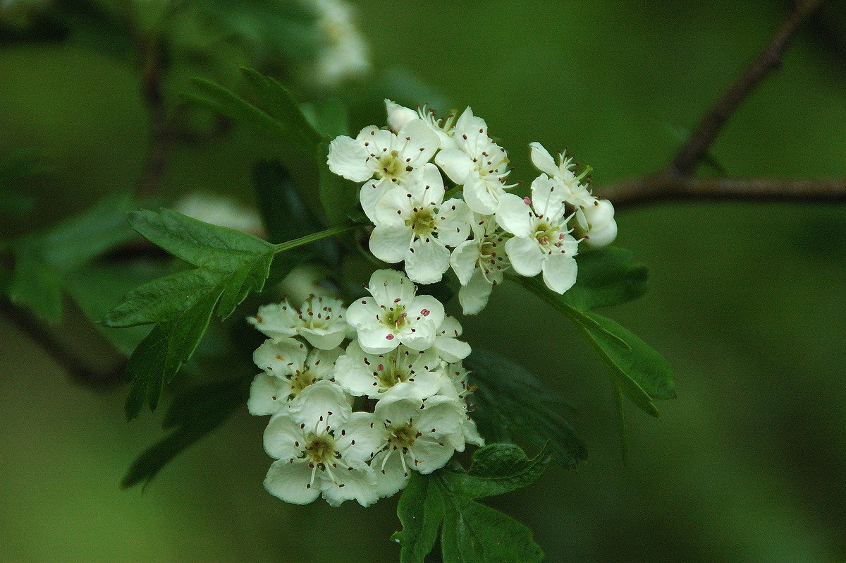 Flor de espino