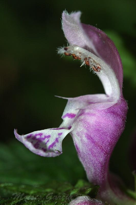 Laminum Maculatum