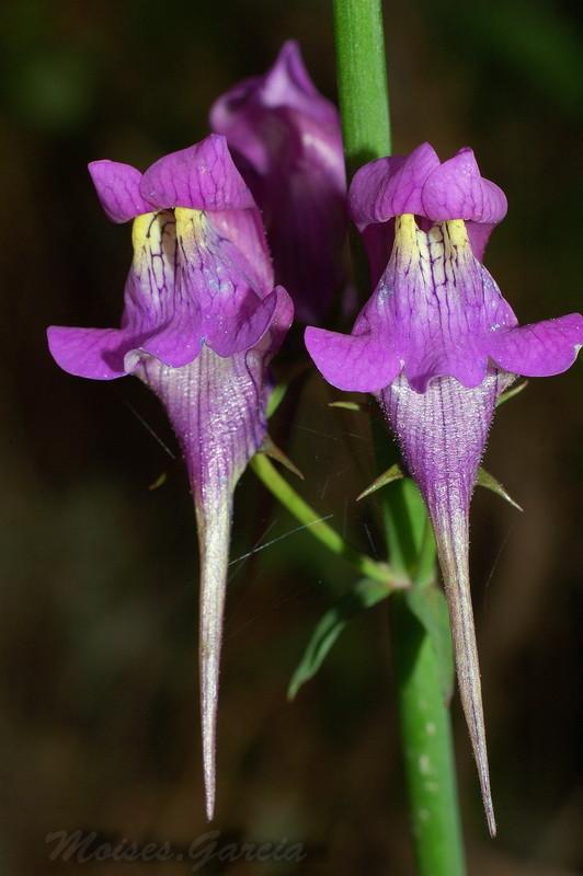 Linaria Trionithophora