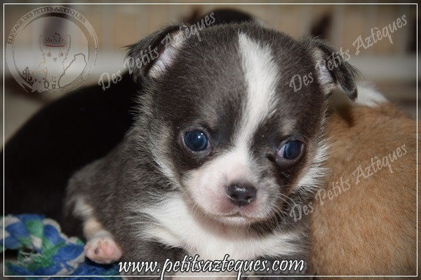 chihuahua bleu et yeux bleu