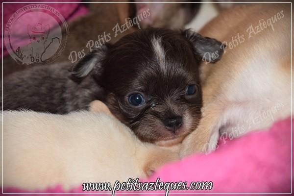 chihuahua poils longs bleu yeux bleus de bébé