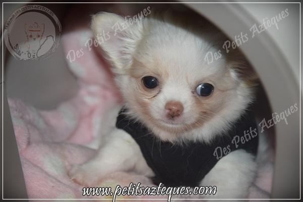 Favoris Est-ce possible un chien qui reste petit ? - Elevage de Chihuahua LOF VH88