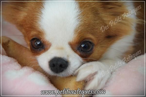 chihuahua petit nez
