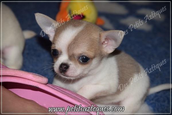 Ou Trouvez Un Chihuahua Miniature A Vendre Elevage De Chihuahua Lof