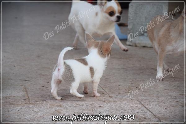 chihuahua miniature à vendre
