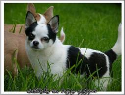 Chihuahua Mâle poil court Américain