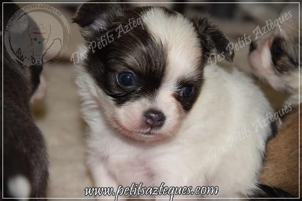 chihuahua poils longs yeux bleus