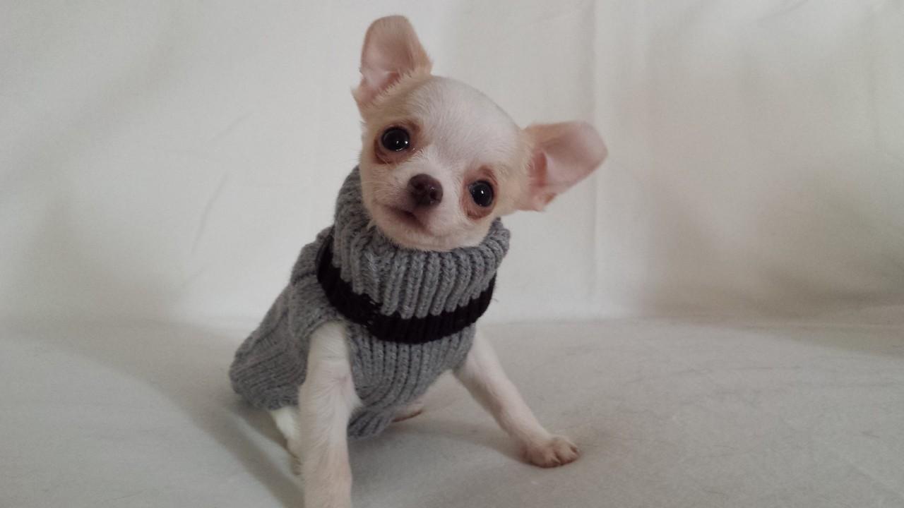 acheter un chihuahua : reservation - Elevage de Chihuahua LOF